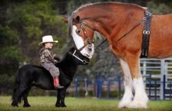 Un Clydesdale rencontrant un poney (avec un intrus sur le dos)